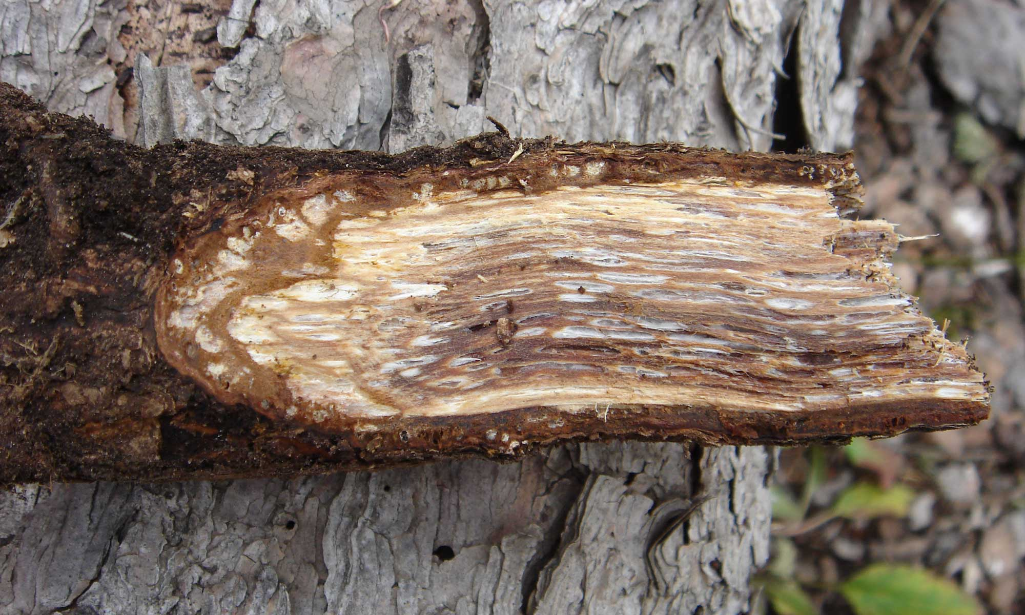 Red Root Rot
