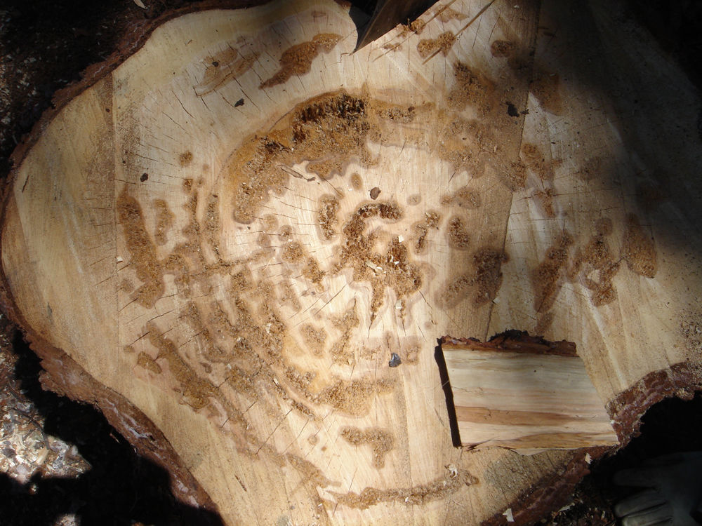 Butt rot caused by <i>Onnia tomentosa</i> in stump of fresh-cut, live <i>Picea engelmannii</i>.  Decay scattered in many discrete fingers across cross-section.  Early yellowish brown, then small pockets develop and enlarge.  Eventually pockets up to 1.5 cm long and several mm wide form, with occasional bunches of fine zone lines.