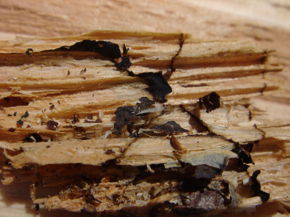 Closeup of decay shown in previous photograph, showing zone lines (pseudosclerotial plates) after part of the decayed wood disintegrated.