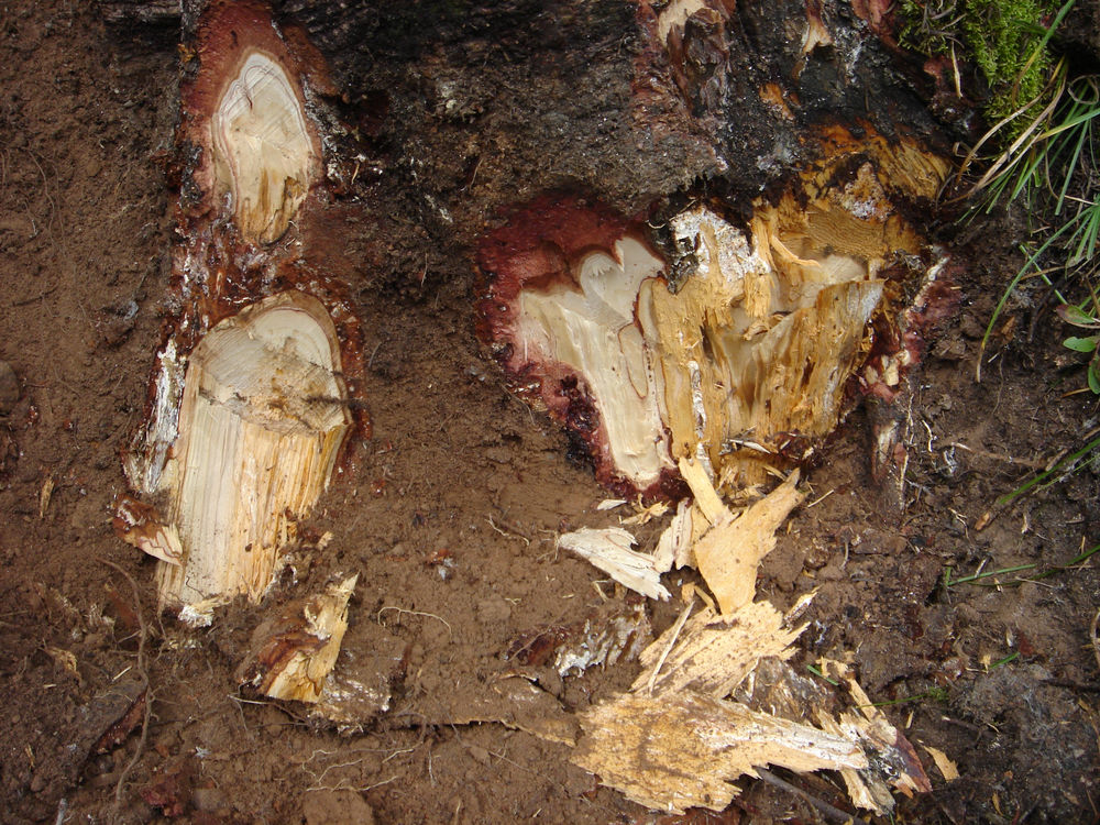 Same <i>Abies bifolia</i> showing two roots.  The right root is colonized and decayed by <i>Armillaria ostoyae</i>.  Root on the left is decayed by <i>O. tomentosa</i> up to about the soil line, and the dead bark has some Armillaria fans beneath.