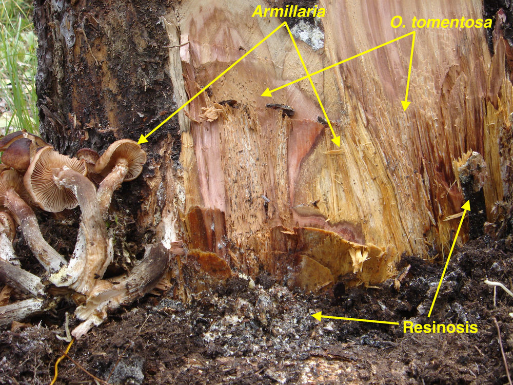 White pocket rot caused by <em>Onnia tomentosa</em> and uniform white rot caused by <em>Armillaria ostoyae</em> in the butt of a <i>Picea engelmannii</i>.  Note resinosis in the outer wood and resin-soaked soil.