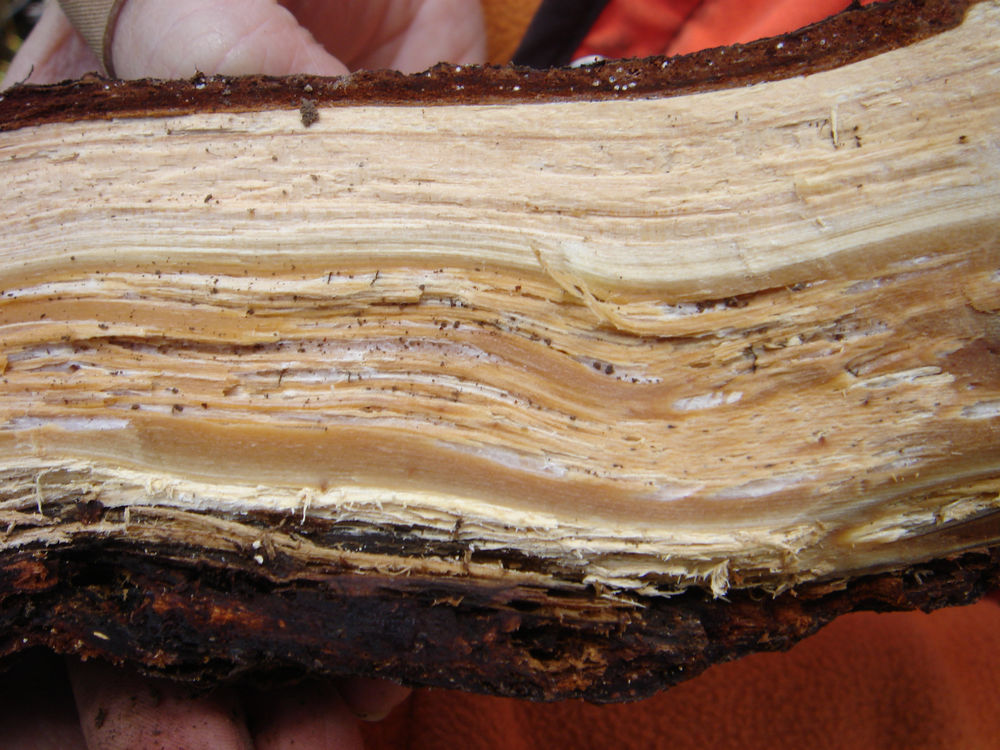 Red-brown stain and early stage of white pocket rot caused by <i>Onnia tomentosa</i> in root of <i>Picea engelmannii</i>