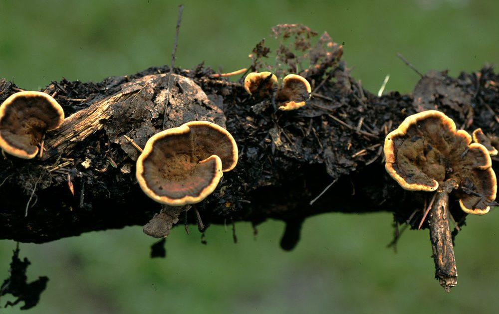 Basidiomata of <i>Onnia tomentosa</i> on root of <i>Picea engelmannii</i> that was just beneath the soil surface.  Caps are dark like this when moist, but the growing margin is much lighter.